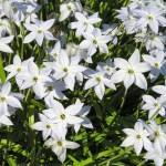 Spring starflower-01