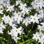 Spring starflower-01