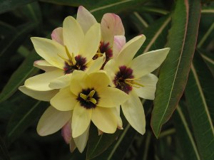 African corn lily-01
