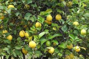 レモンの花言葉