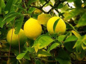Lemon-03