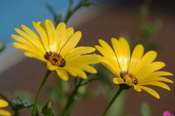 ディモルフォセカの花言葉