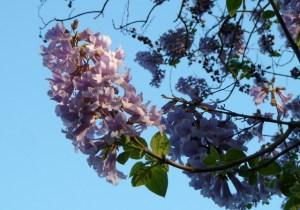 キリの花言葉