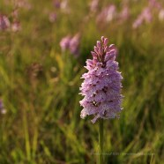 Wild Orchid, growing on the local common - ISO100, F5, 1/500 sec
