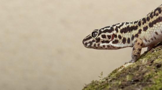 Leopard Gecko (I think) - 28-300mm lens, at 235mm, F10, 1/200sec