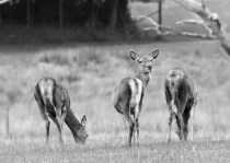 Red Deer - ISo1600. F5.6, 1/400 sec - Cropped and turned into Black and White.