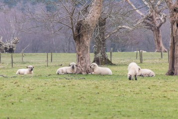 Sheep near Brockenhurst in the New Forest