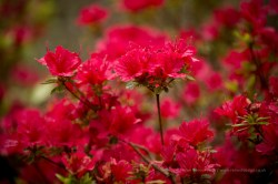 red flowers full of colur