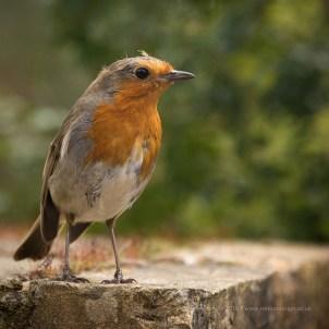 A robin near the tea rooms