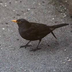 Blackbird, ISO3200, F6.3, 1/2000sec