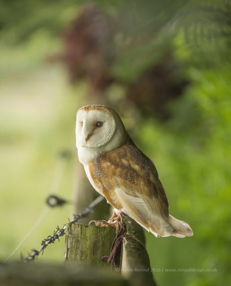 New Forest Barn Owl photographed at Liberty's in the New Forest National Park.