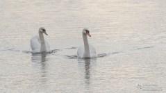 Winter Swans near Hurst