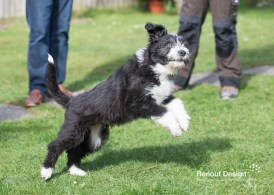 Mack, Beared Collie puppy playing in the garden with my human parents.