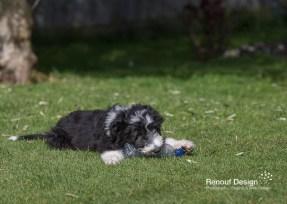 Bearded Collie Puppy adventures in my New Forest Garden.