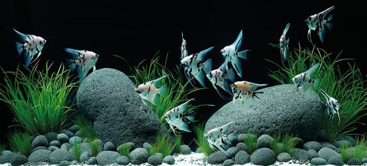 Ikan hias AngelFish