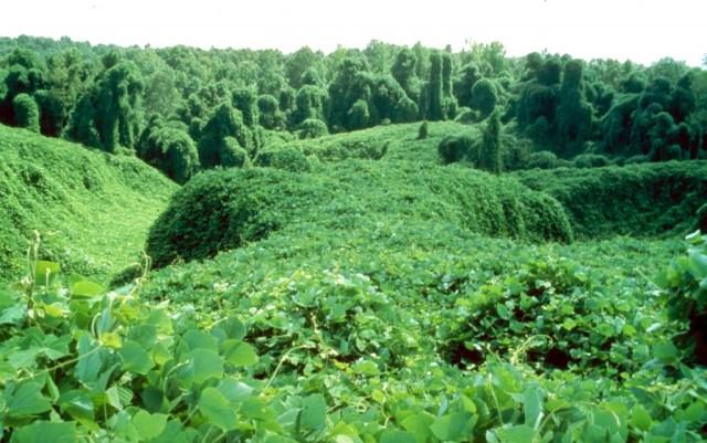 Kudzu Field