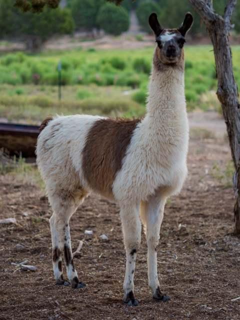 Lloyd - pack llama rentals southern nevada southern utah