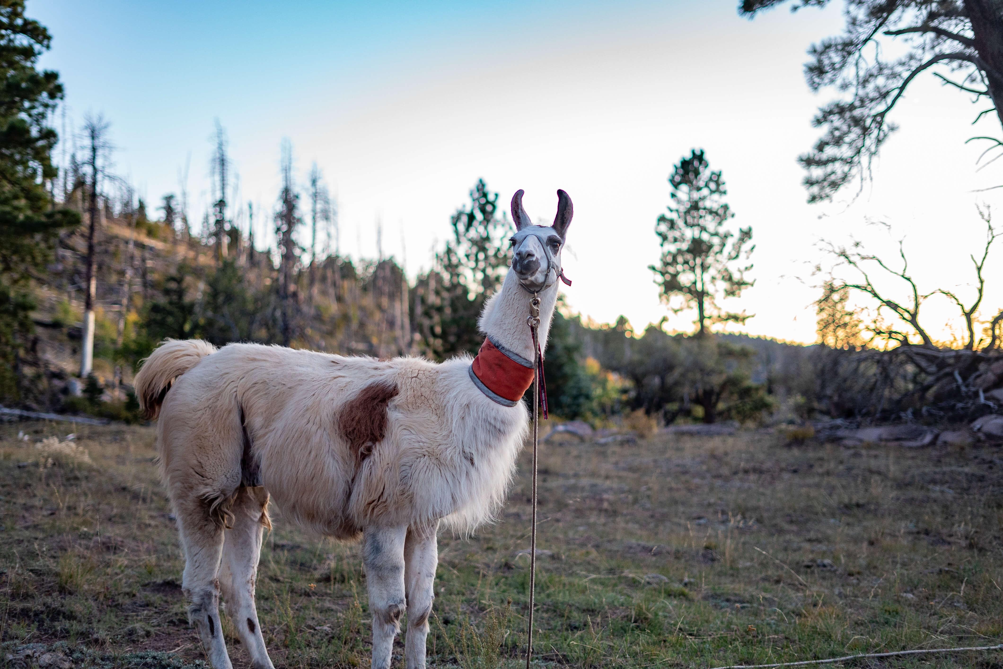 hi trl jack o'niell pack llama rentals southern utah and nevada
