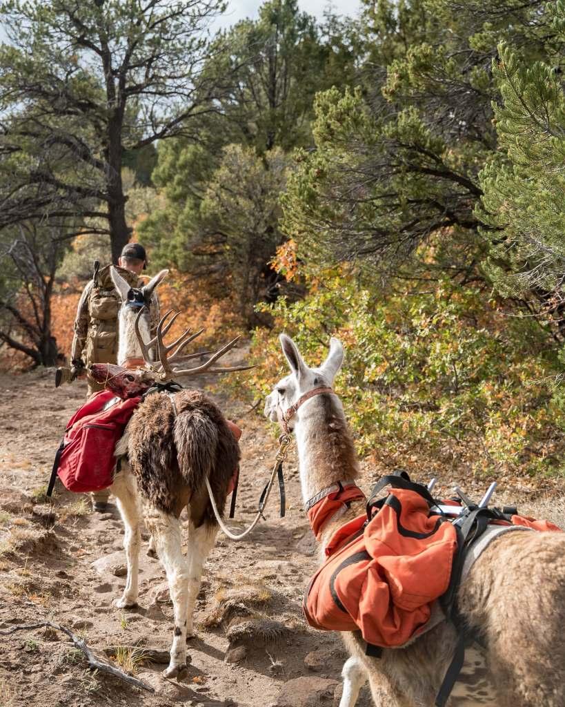 hunting with pack llamas southern utah general season muzzleloader mule deer