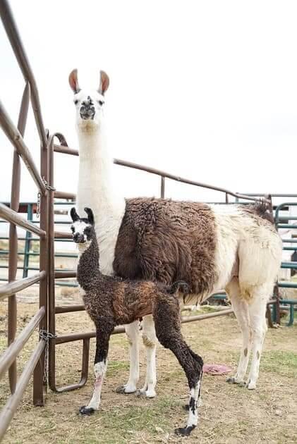 ccara pack llama female nevada