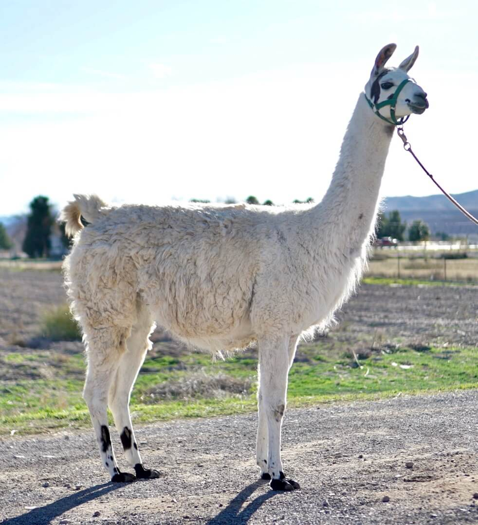 ccara female pack llamas for sale