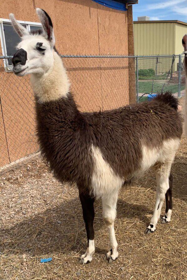 cria pack llamas