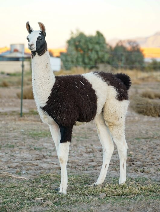 ccara pack llamas for sale