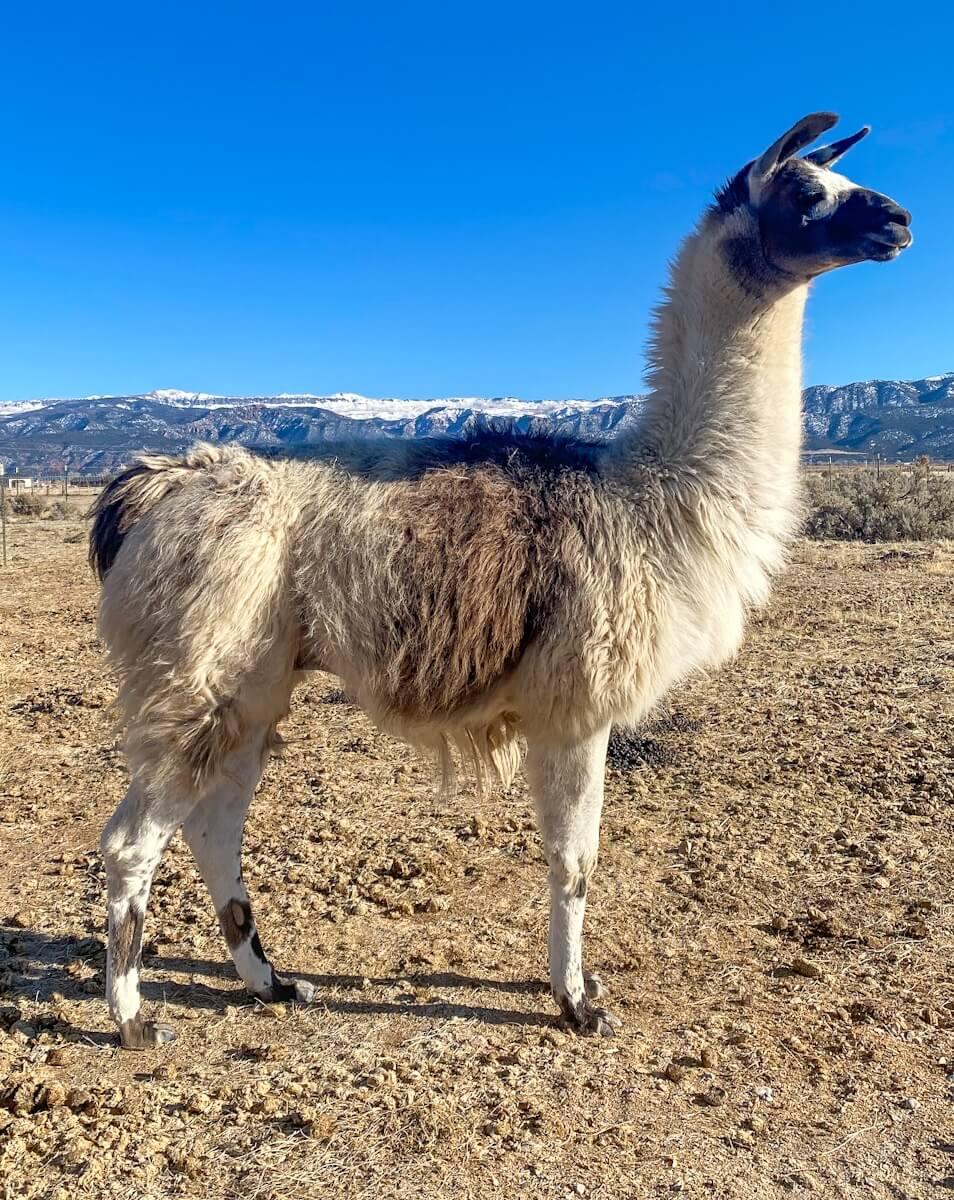Ccara pack llama stud fee