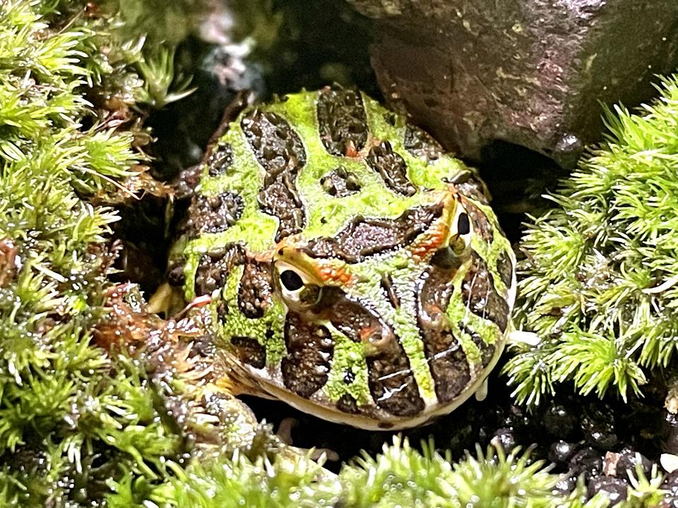 ベルツノガエル 福岡県北九州市の爬虫類ショップ レップファクトリー