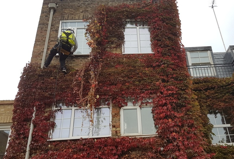 rope access abseiling ivy wisteria plant removal