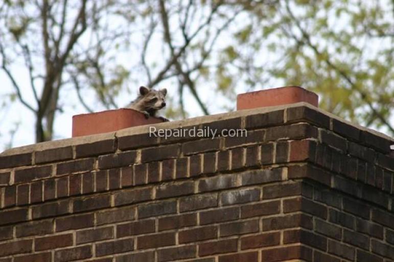 raccoon on chimney