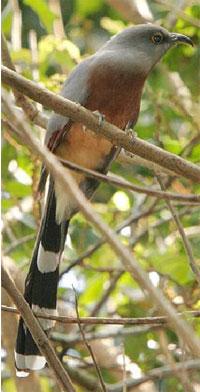 bay_breasted_cuckoo