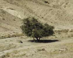 Acacia Tree, Surviving During Hard Times
