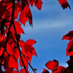 Crimson and cerulean blue.