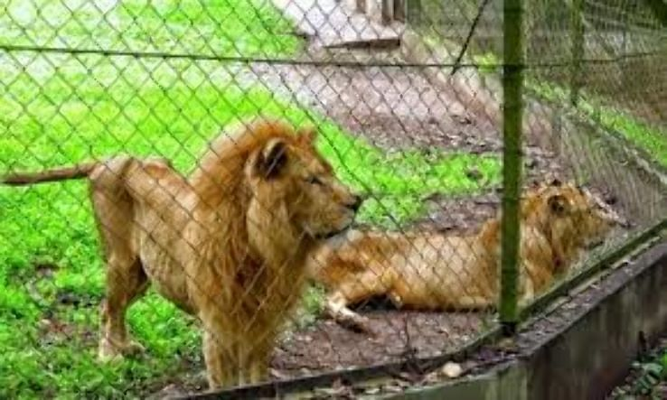 lions at the port harcourt zoo. parks to visit in rivers state