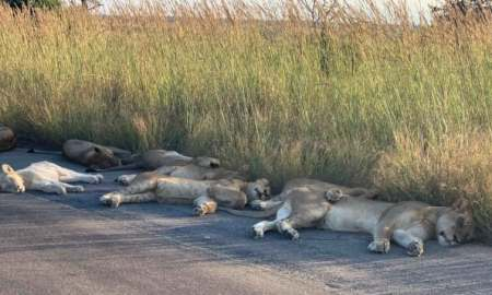 Lions in South Africa as street deserted over covid 19