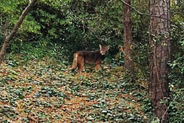 Coyote photo snapped by resident along Pinecrest Road in Buckhead.