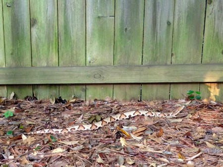 The snake that apeared in Randell Frostig's backyard.