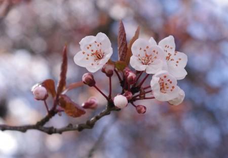 Cherry_blossoms_Wikipedia