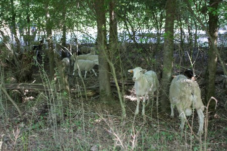 Sheep go to work clearing brush May 6 at Marist School.