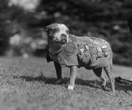 Sergeant Stubby in a 1923 photo published by Wikipedia.