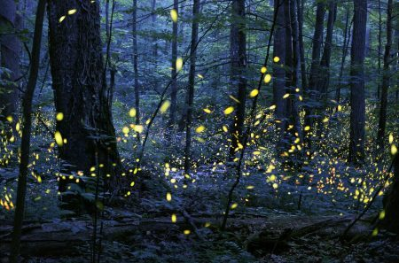 Gathering of Souls, a time-lapse image of the synchronous fireflies at Elkmont in the Great Smoky Mountains National Park. Photo by Radim Schreiber (fireflyexperience.org).