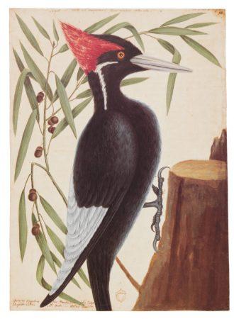 largest_woodpecker-750x1024-1