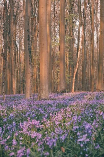 Hallerbos Bois de Hal blue forest