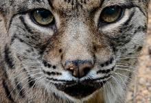 Photo of Animais em vias de extinção em Portugal