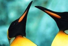 Photo of Animais em vias de extinção: Pinguim Imperador