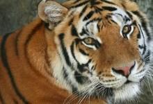 Photo of Animais em vias de extinção: Tigre de Bengala
