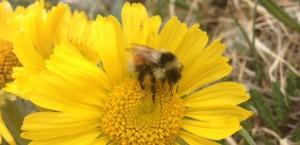 Le bourdon américain Bombus sylvicola ne peut plus explorer les fleurs tubes