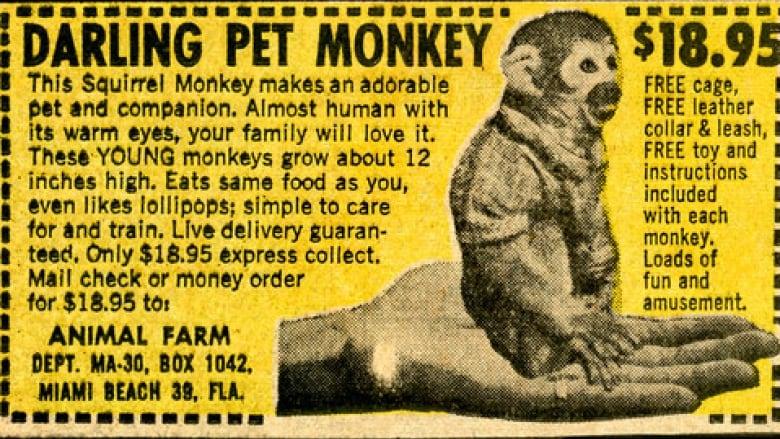 darling-pet-monkey-1