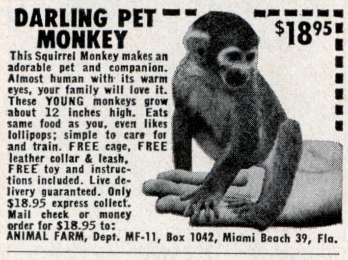 darling-pet-monkey-4